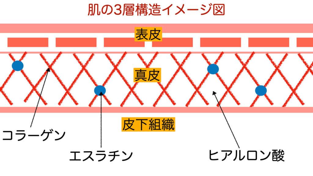 肌の3層構造